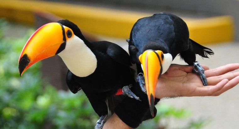 Are Toucans Endangered?