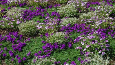 What Is Trailing Verbena?