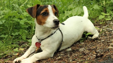 How Do I Train a Jack Russell Mix?