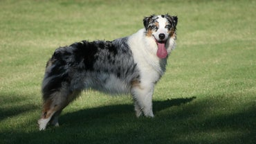 What Are Some Traits of a Blue Merle Australian Shepherd?
