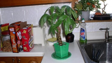 How Do You Transplant a Braided Money Tree Plant?