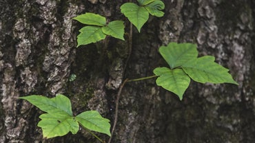 How Do You Treat Poison Ivy?