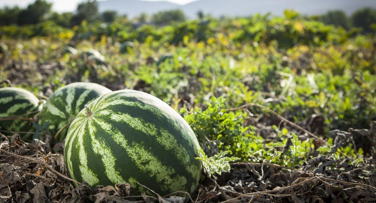 How Do You Trim Watermelon Plants?