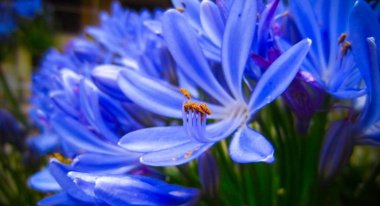 What Is a Type of African Lily?