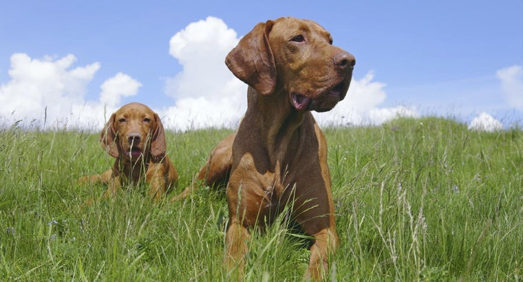 What Type of Dog Is a Hungarian Pointer?