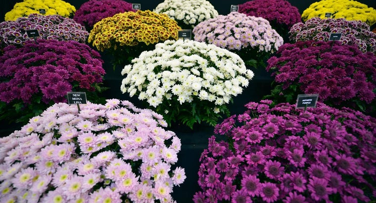 What Types of Chrysanthemum Varieties Are There?