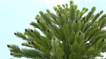 What Are Types of Gymnosperms?