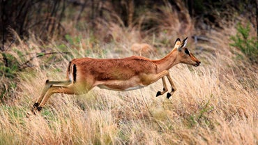 What Are the Types of African Antelope?