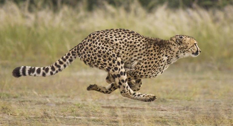 What Are Types of Cheetahs?