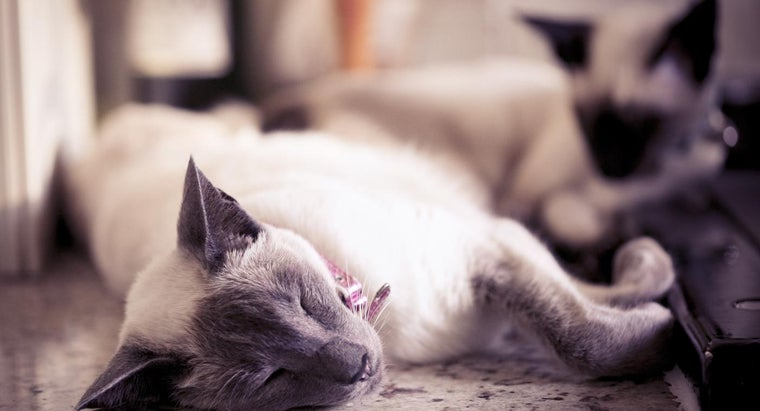 What Are Some Types of Siamese Cats?