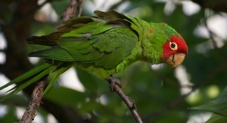 What Types of Wild Parrots Live in California?