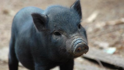 What Is the Typical Lifespan of a Pig?