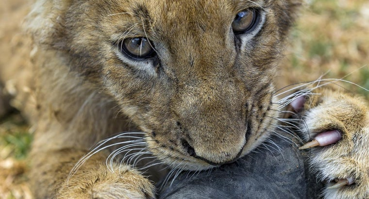 What Makes up a Lion's Diet?