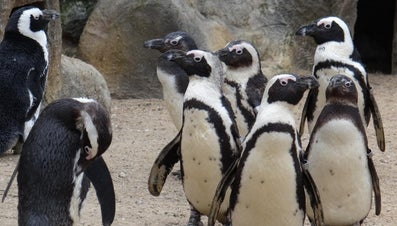 What Makes up a Penguin's Diet?