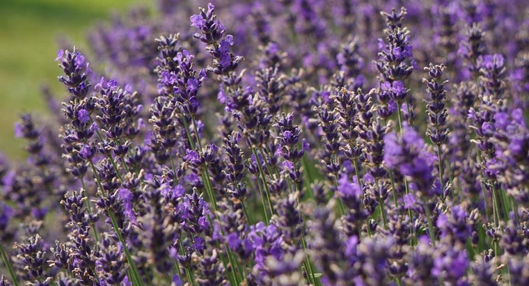 What Are the Uses for Dried Lavender?