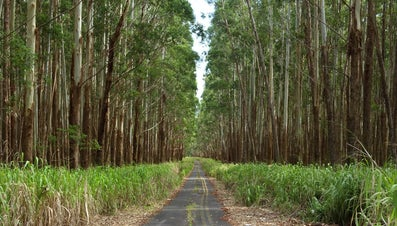 What Are the Uses of Eucalyptus Wood?