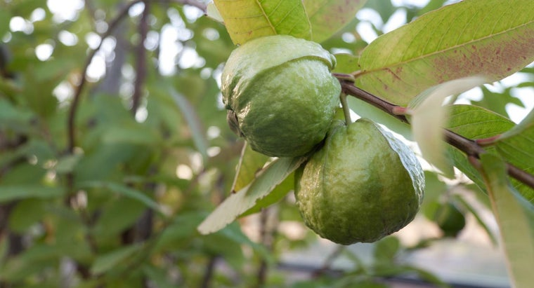 What Are Uses of Guava Leaves?