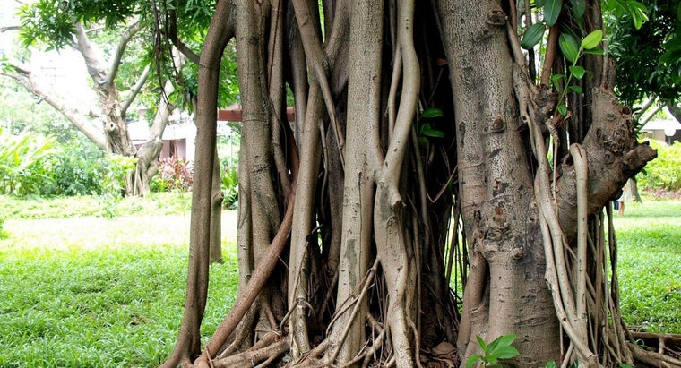 What Are the Uses of the Rubber Tree?
