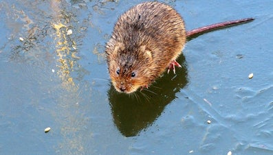 What Does a Vole Look Like?