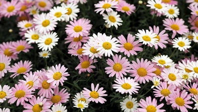 How Often Do You Water Daisies?