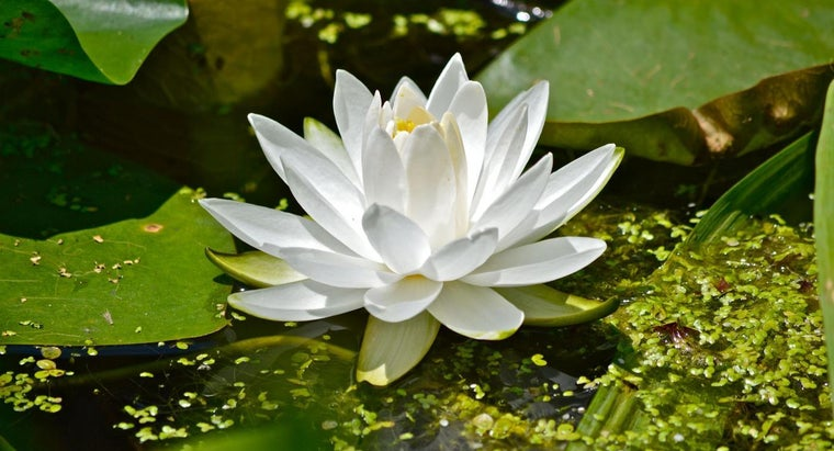 What Do Water Lilies Eat?