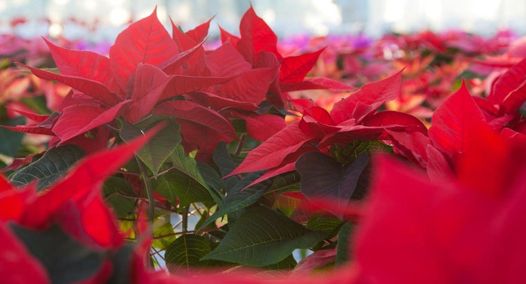 How often do you water poinsettias - How often to water vegetable garden ...