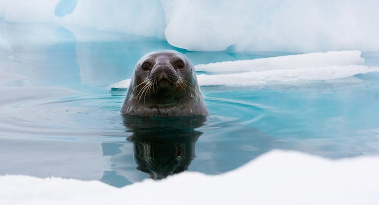 What Do Weddell Seals Eat?