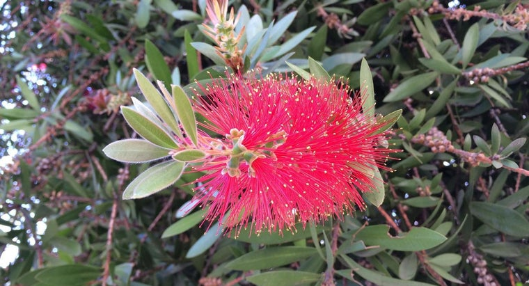 What Is a Weeping Bottlebrush Tree?