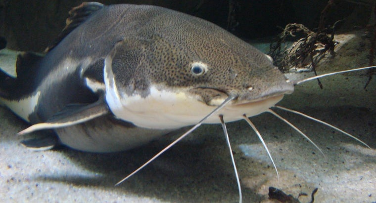 What Is a Wels Catfish?