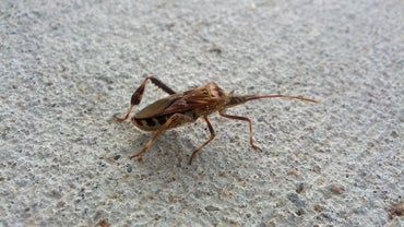 What Is a Western Conifer Seed Bug?
