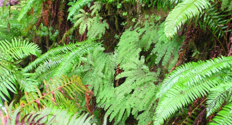 What Is a Western Sword Fern?