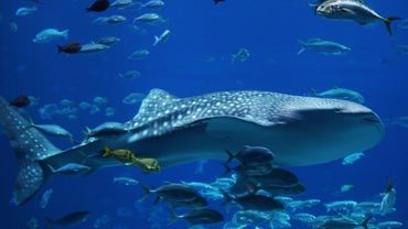 Is a Whale Shark Bigger Than a Blue Whale?
