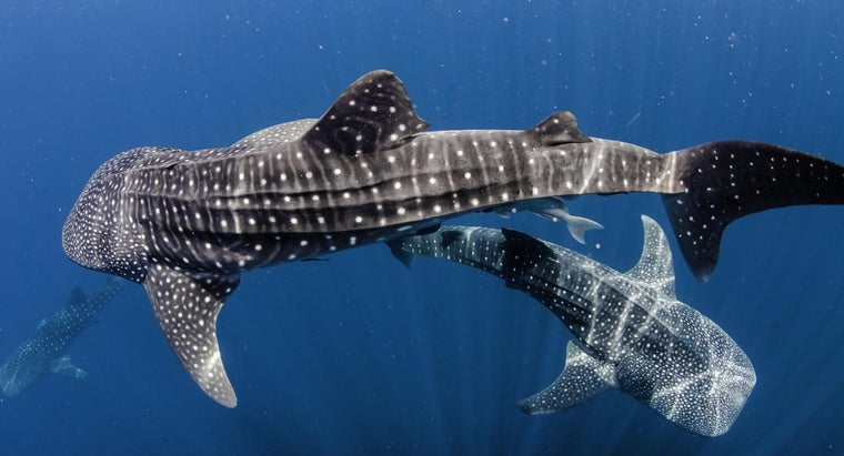 How Does a Whale Shark Protect Itself?