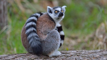 What Is a Lemur?