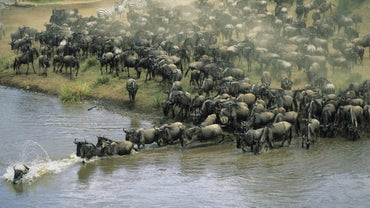 Which Animals Migrate?