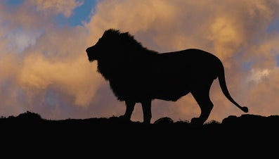 What Is a Predator of a Lion?