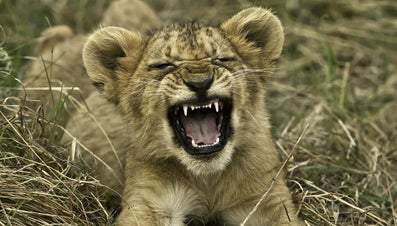 What Is a Young Lion Called?