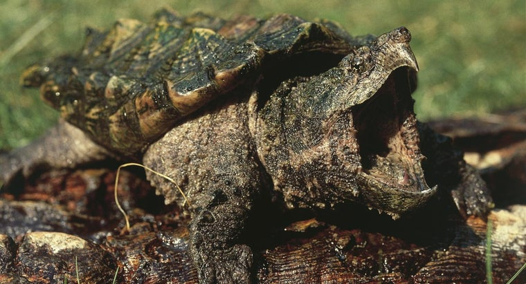 What Do Alligator Snapping Turtles Eat Reference