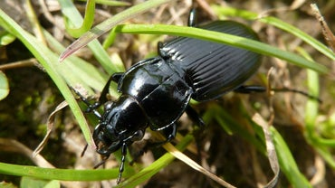 What Do Black Beetles Eat?