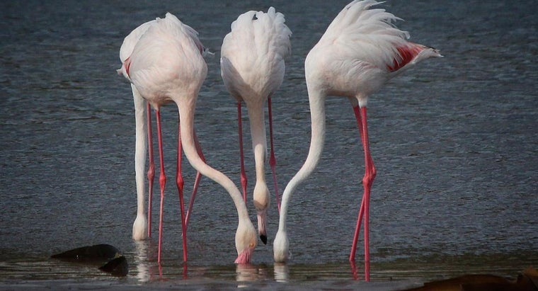 What Do Flamingos Eat Reference