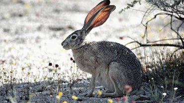 What Do Jackrabbits Eat?