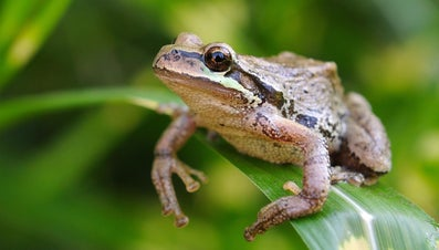 What Do Pacific Tree Frogs Eat?