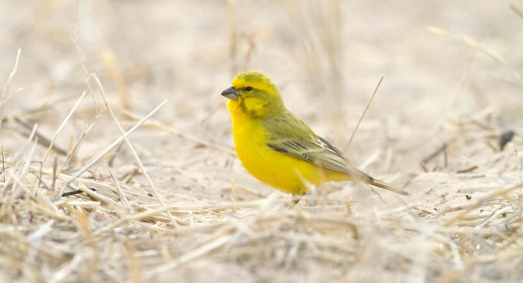 What Do You Feed a Baby Canary?