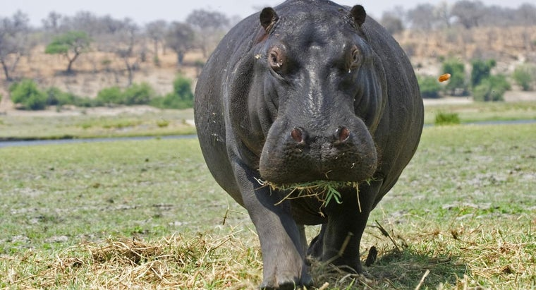 What Does a Hippopotamus Look Like?