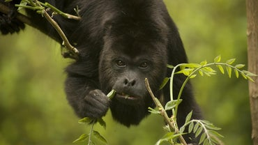 What Does a Howler Monkey Eat?