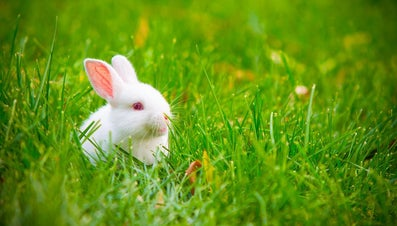What Does It Mean When Rabbits' Ears Stick Up?