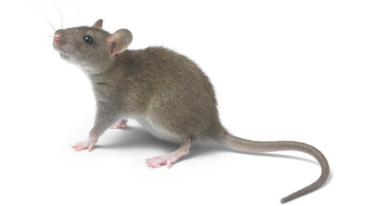 What Does It Mean When You Dream About Rats?