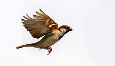 What Does the Sparrow Symbolize?
