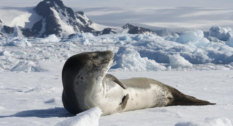Who Are the Predators of Leopard Seals?