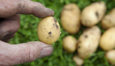 In Which Food Group Is the Potato?